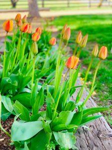 tulips (1)